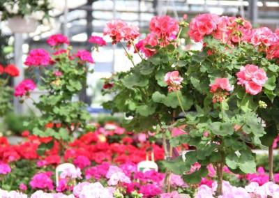 zierpflanzen016